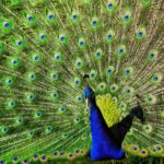 Peacock Blue May be the New Navy